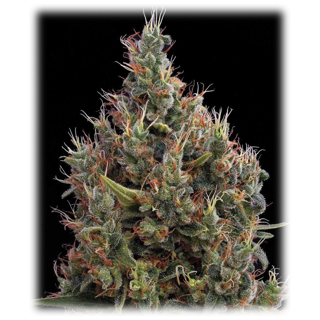 Big Bang Autoflower (Greenhouse Seeds)