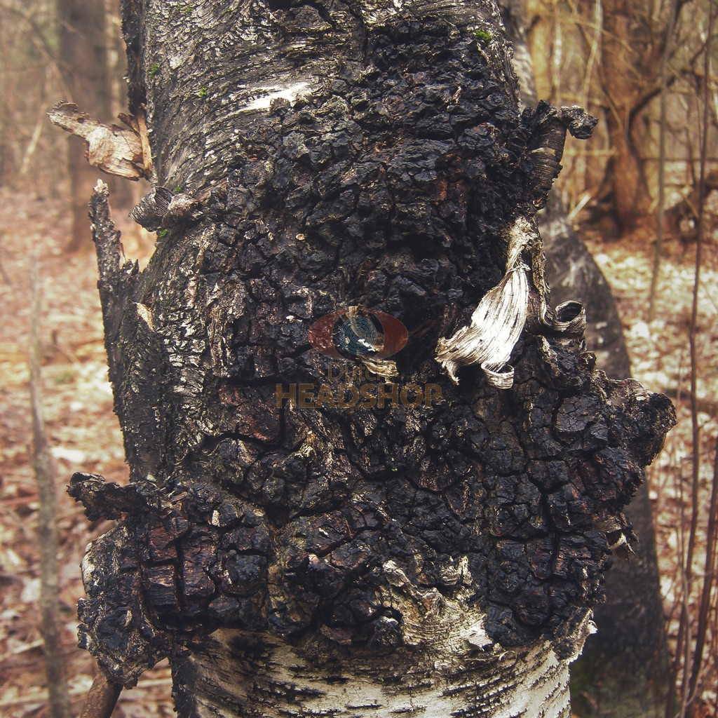 Chaga Mushroom Extract [Inonotus Obliquus] (The Mushroomist)