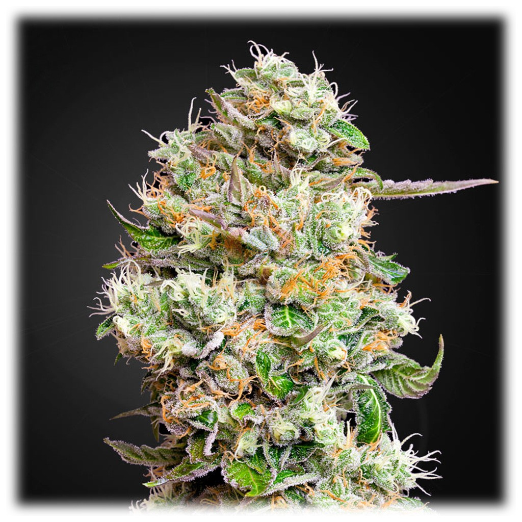 King's Kush Auto CBD (Greenhouse Seeds) 5 zaden