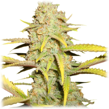 O.G. Kush (Royal Queen Seeds) 5 zaden