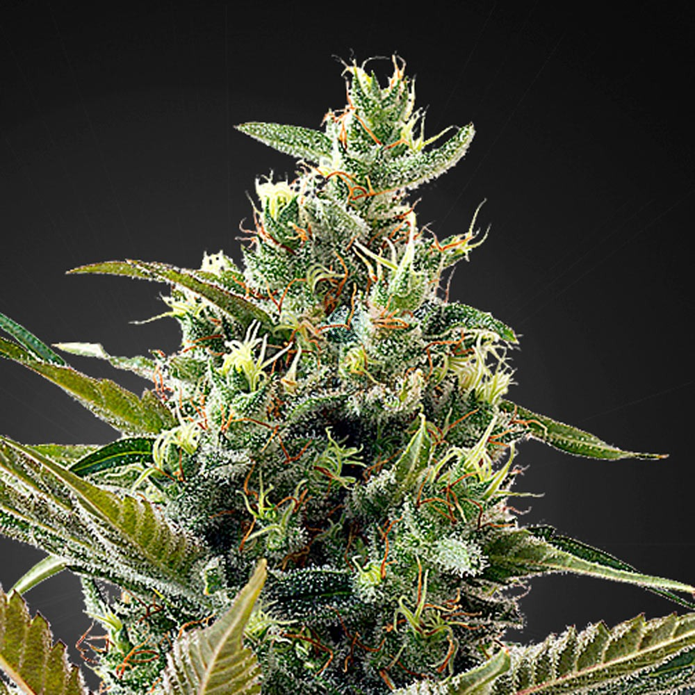 Super Lemon Haze Auto CBD (Greenhouse Seeds) 5 zaden