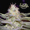 Sensi Star (Paradise Seeds) 3 zaden