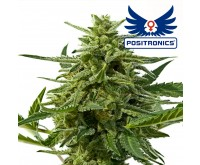 Northern Haze Express Autoflower (Positronics) 5 zaden