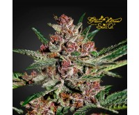 Bubba Kush (Greenhouse Seeds) 3 zaden