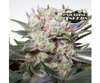 Californian Gold (Paradise Seeds) 3 zaden