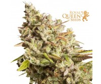 Royal Gorilla (Royal Queen Seeds) 3 zaden