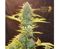 Fat Banana Automatic (Royal Queen Seeds) 3 zaden