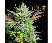 Green Gelato Automatic (Royal Queen Seeds) 3 zaden