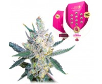 Royal Cheese Gefeminiseerd (5 Zaden) Royal Queen Seeds