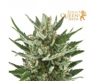 Speedy Chile Fast Flowering (Royal Queen) 3 zaden
