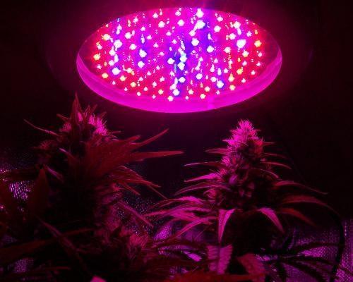 wiet onder LED-lampen