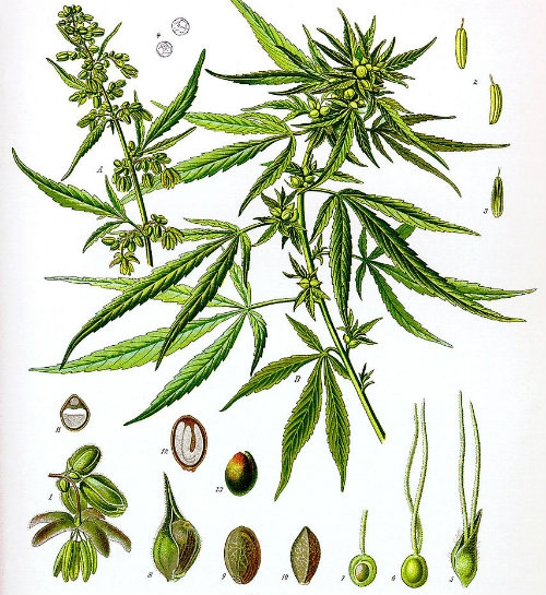 Cannabis Sativa L. Dutch Headshop