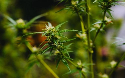 Sativa Plant Dutch Headshop