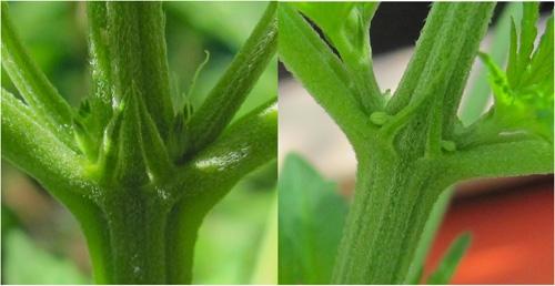 Vrouwtje (links) en mannetje (rechts).